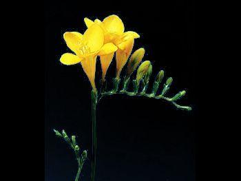 Yellow Iridaceae