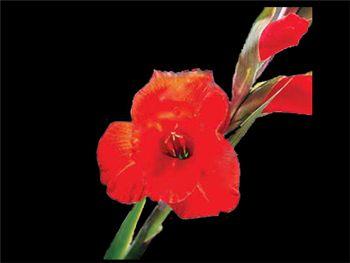 49er Iridaceae