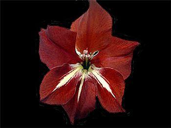 Adi Iridaceae