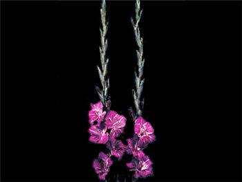 Burgundy Iridaceae