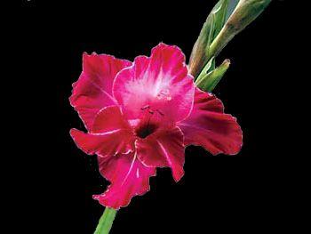 Cerise Iridaceae
