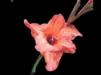 Coppertone Iridaceae