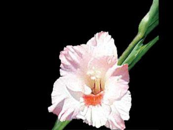 Kenny Hawkins Iridaceae