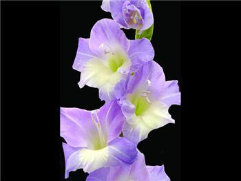 Lavender Riviera Iridaceae