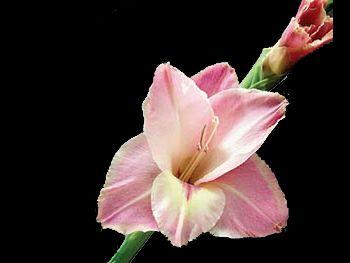 Mauve Iridaceae