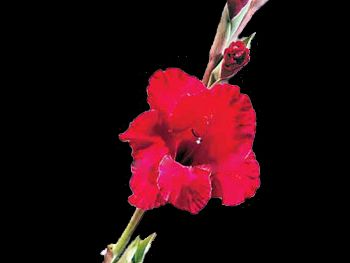 Merlot Iridaceae