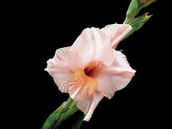 Nancy Iridaceae