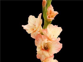 Novelty Alison Iridaceae