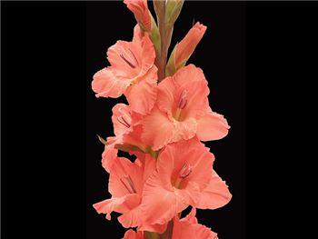 Orange Crush Iridaceae
