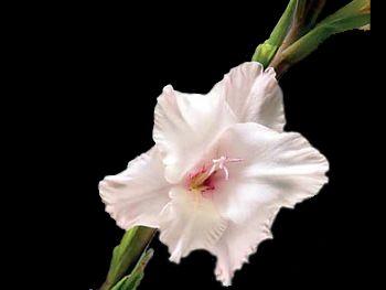 Pearlescent Iridaceae