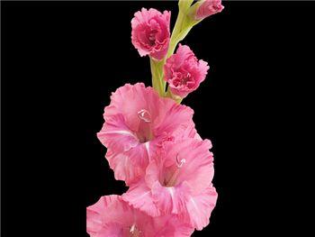 Pink Dusty Rose Iridaceae