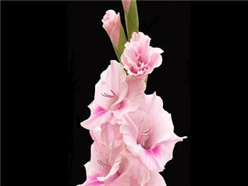 Pink Tampico Iridaceae