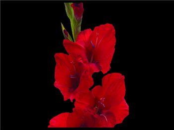 Red Scarlet Iridaceae