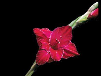 Ruby Iridaceae