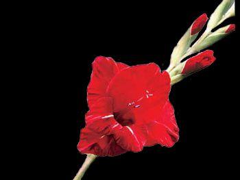 Scarlet O Hara Iridaceae