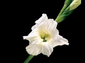 Sierra Snow Iridaceae