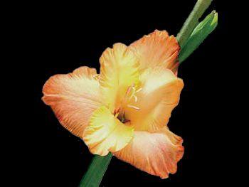 Talisman Iridaceae