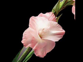 The Queen Iridaceae