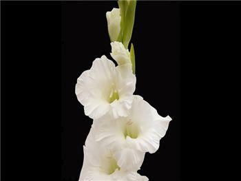 White Cascade Iridaceae