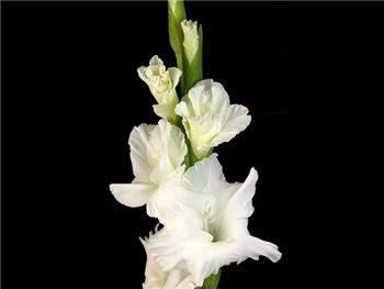 White Sierra Snow Iridaceae