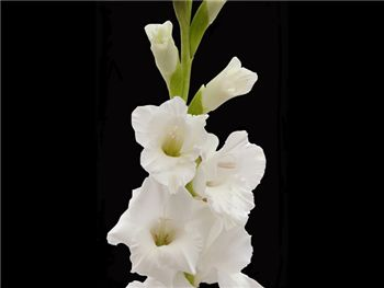 White Silver Queen Iridaceae