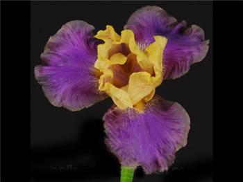Bearded Purple Iridaceae