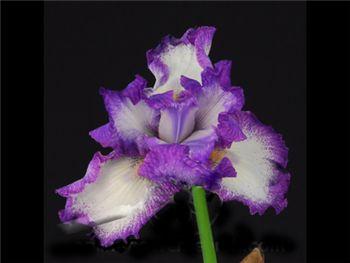 Bearded White-Purple Iridaceae