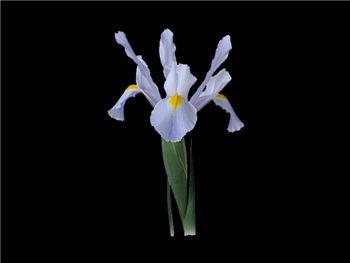 Beauregarde Iridaceae