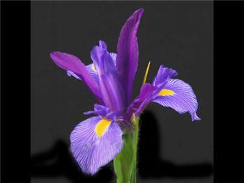 Blue Elegance Iridaceae