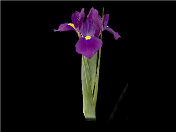 Cannes Iridaceae