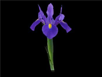 Carlotta Iridaceae