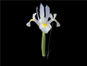 Del Norte Iridaceae
