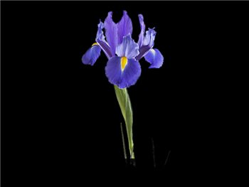 Discovery Iridaceae