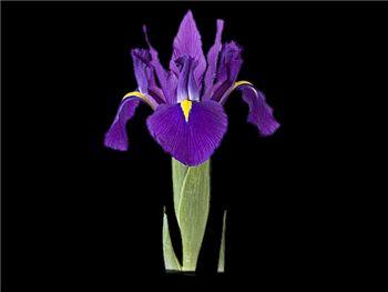 Ferndale Iridaceae