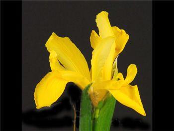 Golden Beau Iridaceae