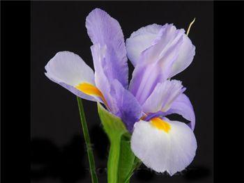 Hildegard Iridaceae