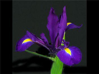 Hong Kong Iridaceae
