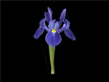 Humboldt Iridaceae