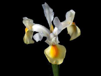 Hybrid Iridaceae