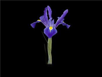 Modoc Iridaceae