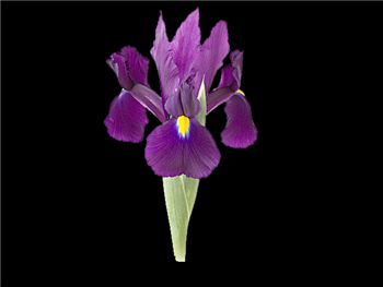 Purple City Iridaceae