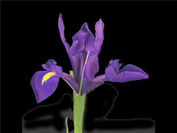 Purple Iridaceae