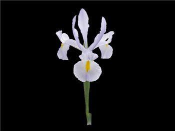 Sky Diver Iridaceae