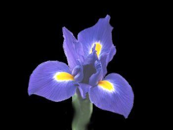 Telstar Iridaceae
