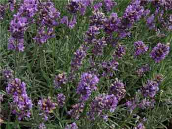 Common Lavender Lamiaceae