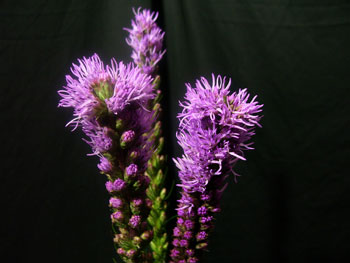 Purple Liatris