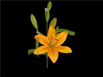 Advantage Liliaceae