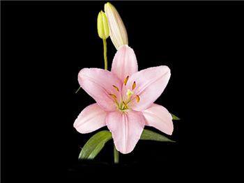 Algarve Liliaceae