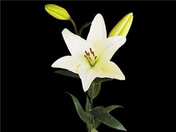 Bach Liliaceae
