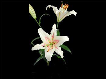 Bonbini Liliaceae